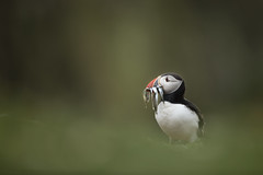 Atlantic Puffin (Daniel Trim) Tags: fratercula arctica puffin wales skomer nature wildlife photography sunset flight flying atlantic bird with sandeels sand eels fish animal