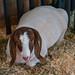 Goat at Minnesota State Fair