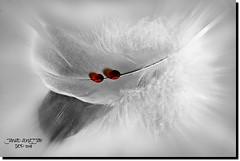 TWO WINE DROPS (jawadn_99) Tags: interrestingness sky art creative photography shadow performance black white feathers birds wild kuwait explore