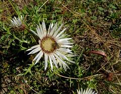 Silberdistel (uwelino) Tags: switzerland schweiz swiss suisse swisstravel swisstravelspectacular kanton schwyz 2018 europa europe silberdistel alpenflora alpenblumen carlina acaulis