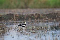 Pheasant-tailed Jacana (पिहो, जलमंजोर,जलमयूर, जलअप्सरा) - Hydrophasianus chirurgus (jhureley1977) Tags: pheasanttailedjacana पिहो जलमंजोर जलमयूर जलअप्सरा hydrophasianuschirurgus birds birding birdsofindia indiabirds indiabirding2018 ashjhureley avibase naturesvoice bbcspringwatch rspbbirders orientbirdclub jabalpur jabalpurbirds sanjivininagar ashutoshjhureley
