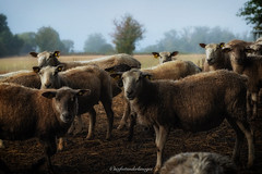 Moutons dans la brume. (steflgs) Tags: mouton sheep landscape nature animal