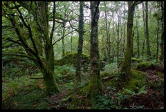 Welsh Rainforest (zweiblumen) Tags: tanybwlch forest gwynedd wales cymru uk canoneos50d polariser zweiblumen