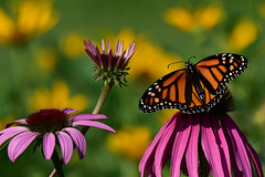 MonarchGorgeous2 (Rich Mayer Photography) Tags: monarch butterfly butterflies nature wild life wildlife insect insects flower flowers nikon