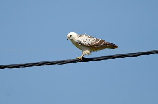 Common Buzzard, Buse variable (Buteo buteo) - Aubel, BELGIUM