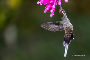 The amazing dance of the hummingbird
