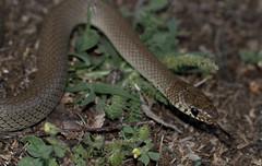 Ring-headed Dwarf Snake (Eirenis modestus) (cowyeow) Tags: easteurope georgia georgian caucuses european reptile herp herping reptiles nature wildlife snake ringheaded dwarfsnake eirenis modestus eirenismodestus
