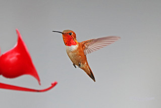Rufous Hummingbird Flying 18-0602-2489