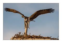 Dinner's Coming! (JohnKuriyan) Tags: falmouth massachusetts osprey
