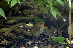 Robin (Rich Jacques) Tags: robin erithacusrubecula sheffield botanicalgardens nature wildlife bird september 2018 canon eos450d naturephotography