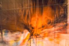 IMG_8897 (Desmojosh) Tags: canon eos eosm m sigma 1020mm 456 dobby dog puppy pet tired