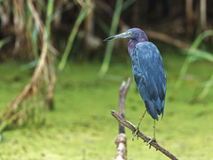 Little Blue Heron (noblesgeorge1) Tags: