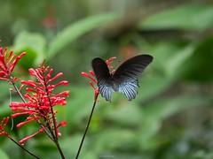 蝶採花09 (enno7898) Tags: flower plant butterfly f4056 vario 45200mm g9 lumixg9 lumix panasonic