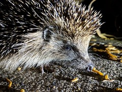 Hedgehog in our garden this evening. We get them every night, which is lovely ❤️ (Powderpuff GP) Tags: hedgehog garden ukwildlife nighttime feeding spikes nature