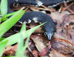 Water Snake (_Lionel_08) Tags: snake water grass louisiana black color colorful wild wildlife nature reptile