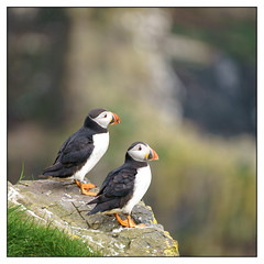 Puffin Lookouts (shaunyoung365) Tags: puffin faroe mykines wildlife