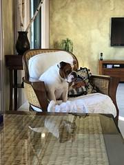 Ginger (Alpen Schatz - Mary Dawn DeBriae) Tags: happy customer alpenschatz bernesemountaindog dog swissdogcolar hunterswisscrosscollar doggles stein
