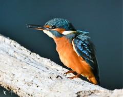 Martin Pêcheur (MalcedoP) Tags: loire niévre kingfisher alcedoatthis