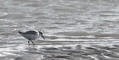 Drieteenstrandloper/Sanderling (roelivtil) Tags: beach blackwhite calidrisalba drieteenstrandloper monochrome monochromebokehthursday sanderling strandloper texel zwartwit