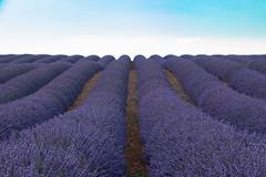 Valensole In Provence (France) (Maria Cappelli) Tags: lavanda valensol francia provenza france viola purple sky green verde sentiero campo fiori flower