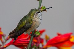 IMG_9541 broadtail hummingbird (starc283) Tags: canon 7d wildlife nature natures finest bird birding birds humming boardtail hummingbird flickr flicker flora flower watcher starc283 macro animal lizard naturewatcher naturesfinest