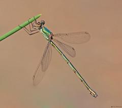 Willow Emerald damselfly (timz501) Tags: willowemeralddamselfly chalcolestesviridis jersey