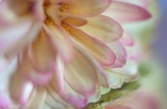 Impressions (ertolima) Tags: hmm petal flower macro beauty beautiful macromondays impressionistic definingbeauty