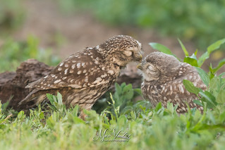 Little owls Adult with youngster