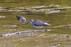 GREATER & LESSER YELLOWLEGS-09181530.jpg (nsxbirder) Tags: clarksville cowanlake clintoncounty lesseryellowlegs greateryellowlegs ohio yellowlegs unitedstates