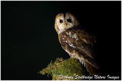 Tawny Owl in the Shadows (www.andystuthridgenatureimages.co.uk) Tags: tawny owl night nightime dark wood dorset tree moss post stump scotland uk dumfries galloway strigidae