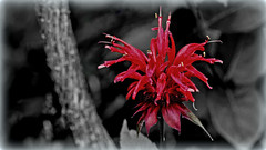 Bee Balm (Bergamot) (Bob's Digital Eye) Tags: abstract beebalm bergamot bobsdigitaleye canon canonefs55250mmf456isstm flower garden july2018 macro monarda oswegotea red selectivecolour t3i flicker flickr dark