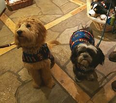 20180102_155215 (Alpen Schatz - Mary Dawn DeBriae) Tags: happy customer alpenschatz bernesemountaindog dog swissdogcolar hunterswisscrosscollar doggles stein
