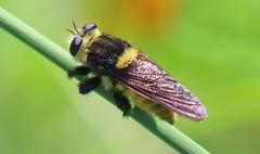 My Favorite Robber Fly (Kaptured by Kala) Tags: mallophorafautrix beekiller robberfly beemimic mimic predator hunter assassin bug insect whiterocklake dallastexas winfreypoint blacklandprairie wildflowermeadow grassstem closeup fuzzy