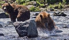 Ooops, it's fleeing! (paolo_barbarini) Tags: kamchatka wildlife orsi bears animali animals fishing mammals acqua water nationalgeographic animalplanet