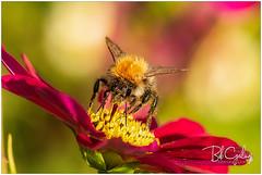 Bumblebee (Bob Geilings) Tags: bee bumblebee macro nectar flower bokeh