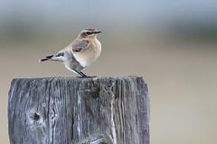 Wheatear-7D2_8915-001 (cherrytree54) Tags: wheatear bird canon sigma 150600 7d 7dmkii