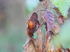 Dewdrops and Ladybird. (dave p brecks) Tags: 7spotladybird invertebrates panasonicdmcg80 olympus60mmmacro dewdrops autumn