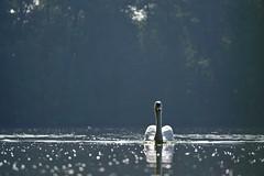 september morning (a n t j e) Tags: schwan swan cygnusolor höckerschwan