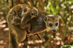 IMG_0313  Crowned lemur (Eulemur coronatus) (Kalina1966) Tags: madagascar animals lemur ngc naturethroughthelens npc coth5 specanimalphotooftheday