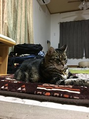 Sleepy on the Mat (sjrankin) Tags: 17september2018 edited animal cat tigger mat floor livingroom evening kitahiroshima hokkaido japan