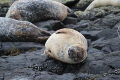 Common Seal Sleeping - IMG_7447 (406highlander) Tags: commonseal seal phocavitulina dunvegan skye scotland lochdunvegan marine mammal animal sigma120400mmf4556apodgos harbourseal harborseal basking rock canoneos1300d