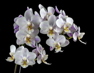Mini-Phaleonopsis