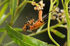 Chauliognathus profundus vs. Chauliognathus obscurus (aliceinwl1) Tags: az arizona arizona2018 arthropod arthropoda boxcanyon cantharidae chauliognathinae chauliognathini chauliognathus chauliognathusobscurus chauliognathusprofundus coleoptera elateroidea insect insecta polyphaga santacruzcounty serieselateriformia soldierbeetle beetle locpublic obscurus profundus viseveryone
