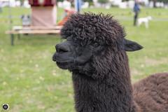 Say What Again, I Dare Ya, I Double Dare Ya! (alundisleyimages@gmail.com) Tags: alpaca animal wildanimal beast creature bokeh fury cute pet nature hair pulpfiction movie