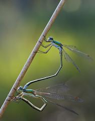 P8233314_DxO (frank.giesen) Tags: dcr150 makro macro libelle outdoor pflanze gras insekt tier