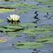 Fragrant water-lily - La Nymphée odorante
