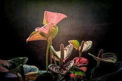 Anthurium #1 (foto_morgana) Tags: anthurium belgique belgium belgië bloemen flamingoplant fleurs flowers lightroom pottedplant topazstudio wemmel