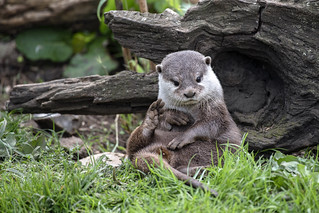 Short Clawed Otter resting