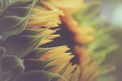 Last Dream of Summer (Vanessa wuz Here) Tags: 90mm macro autumn fall flora flowers sunflower petals leaves yellow green vanessasbackyard