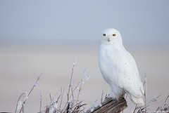 Snowy owl, Canada 2018 (andrériis) Tags: canada saskatchewan saskatoon winter hardfrost snowy owl canon 1dx 500mm